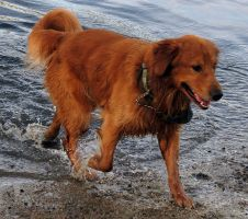 Dog Stock 3: Golden Retriever by HOTNStock