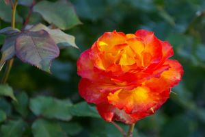 Antique Rose by FallowpenStock