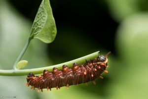 Polydamus swallowtail caterpillar by CyclicalCore
