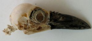 Stock Crow Skull Lateral by coyotlprole