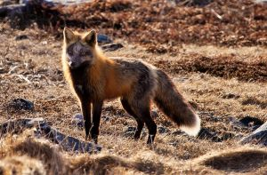 Wild Fox Shot Moments Ago 4 by Witch-Dr-Tim