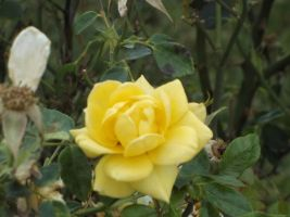 Little Yellow Rose by RockyRoxas13