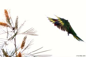 Lorikeet in flight by spyjournal