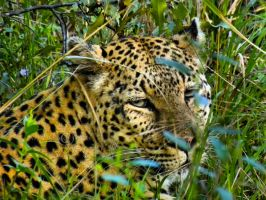 Into a Leopard Eyes by WhiteBook