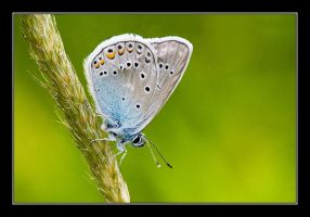 Common Blue II by Yaninah
