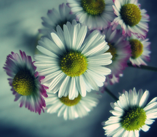 the first daisies by ghastly14