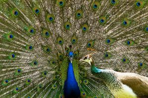 Peacock Mating by weaverglenn