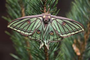 SPANISH MOON MOTH by REGIS56
