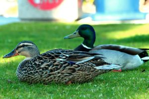 Mallard Couple by robert-kim-karen