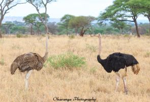 Ostrich Pair by Okavanga