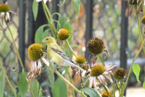 A Visitor In the Cone Flowers, Gold Finch Examinin by Miss-Tbones