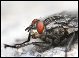 flesh fly by 21711