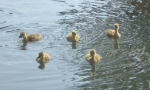 Stock - Ducklings III by rockgem