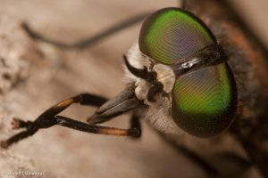Deer fly up close by dllavaneras