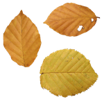 Fall Leaves PNG by simfonic