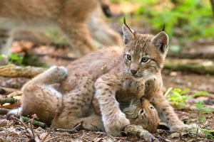 Two lynxes playing by Nirvanaklanen