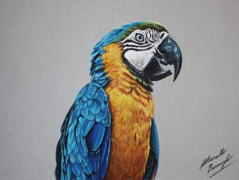 Blue and Gold Macaw Parrot drawing by marcellobarenghi