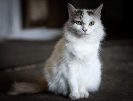 White Cat by Sulde