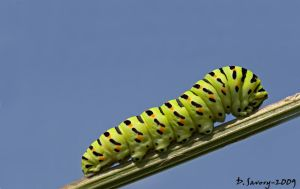 Swallowtail caterpillar by Slinky-2012