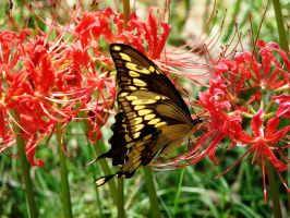 Butterfly on Spider Lily by wolfepaw