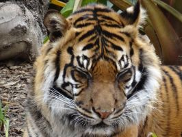 Adelaide Zoo 2014: Tiger 02 by lizardman22