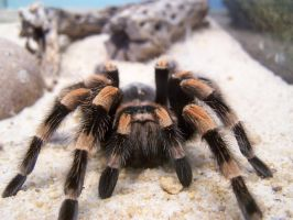 tarantula by ibartley