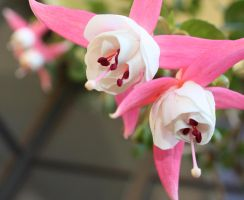 Fuschias by tweedale23