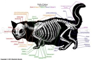 Munchkin Cat Skeleton Anatomy by TheDragonofDoom