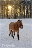 Horse that came from sunrise. by Triumfa