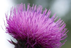 Thistle Flower by Jared-Photos-Others