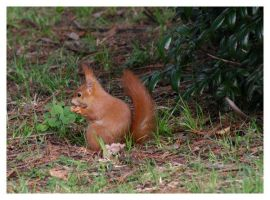 Another Red Squirrel by neilwightman
