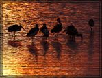 White Ibises 40D0033400 by Cristian-M