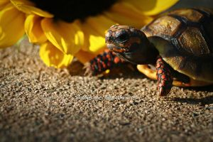 Squirt The Turtle by prominent-portraits