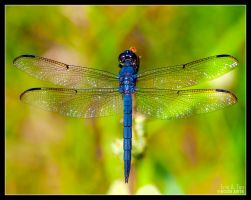 Blue Dragonfly II by Eccoton