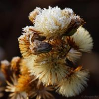 frosty winter flower by Jorapache