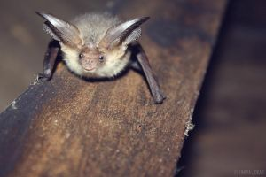 Brown long-eared bat (Plecotus auritus) by Bluttendrut