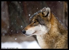 snow wolf by morho