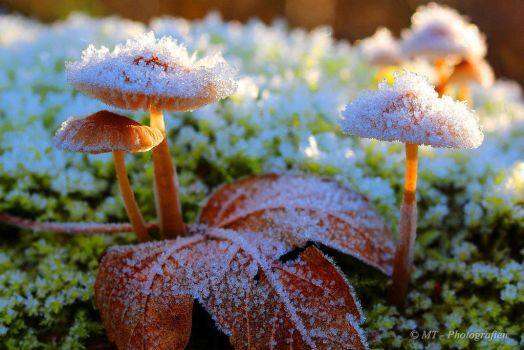 Frosty kristal mushrooms in the morning sun 2 by MT-Photografien