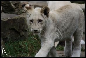 White Lion cub 02 by Alannah-Hawker