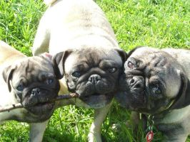 Pugs by Izlor