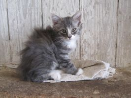 Long Haired Tabby 1 by CountryGirl1991