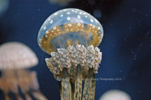 White-spotted Jelly 3 by MorrighanGW