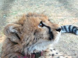 Adorable Cheetah by TheBecksExperience