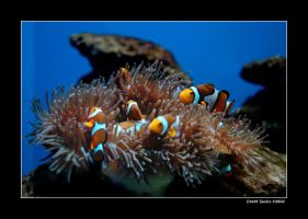 Clownfish by grugster