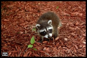 Baby Raccoon Series 7 of 9 by LarryDNJR