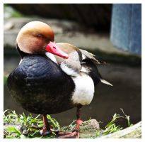 Red-crested Pochard by MissTick