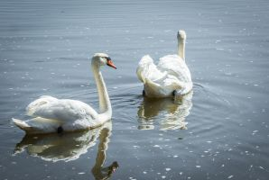Swans in afternoon sunshine. by Garraz