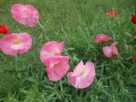 Pink and Red Poppies by sandyandi146