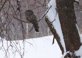 Big Owl in winter by Nusio21