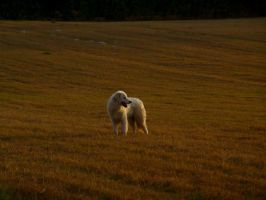 Great Pyrenees 2 by ShowCavs